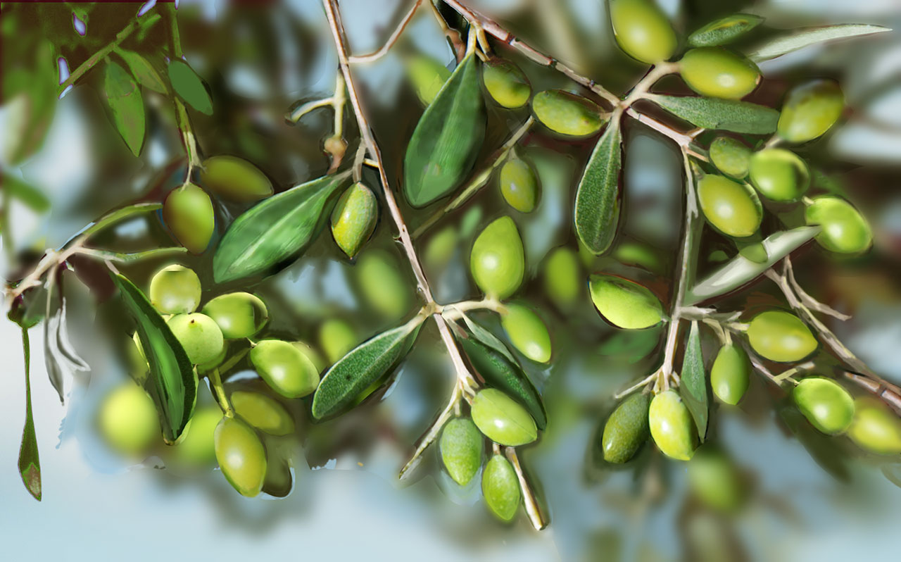 HARVESTING AND OLIVE OIL PRODUCTION